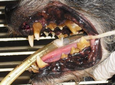 veterinaria pavia odontoiatria veterinaria odontoiatria gatto