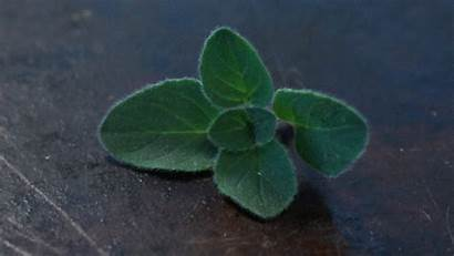 Gifs Herbs Herb Christmas Finish Oregano Being