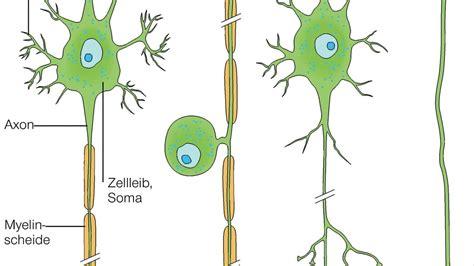 die nervenzelle aufbau und funktion der nervenzelle