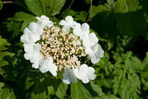 schneeball pflanze schneiden schneeball viburnum pflanzen pflege schneiden