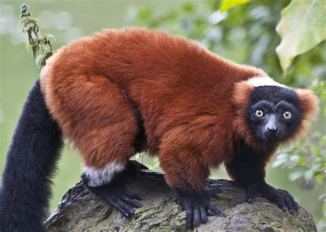 red ruffed lemur facts diet habitat pictures