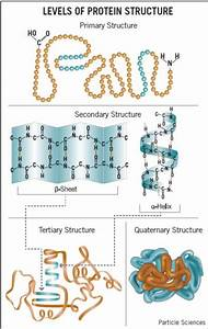 What Are The 4 Structural Levels Of Proteins
