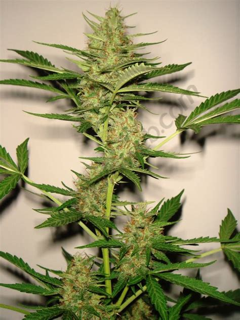 chambre culture cannabis culture de cannabis à floraison automatique du
