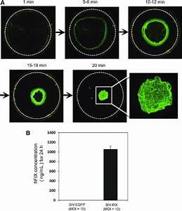 Cell Sheets Of Lentivirus