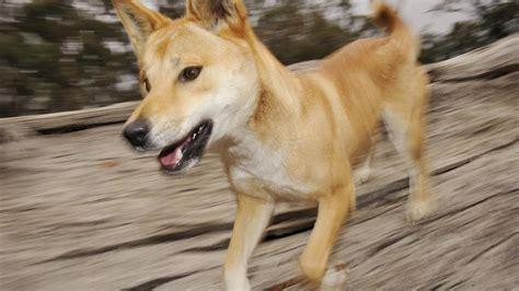 pets  predators    australias famous dog