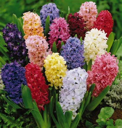 jacinthe hyacinthus culture entretien semis