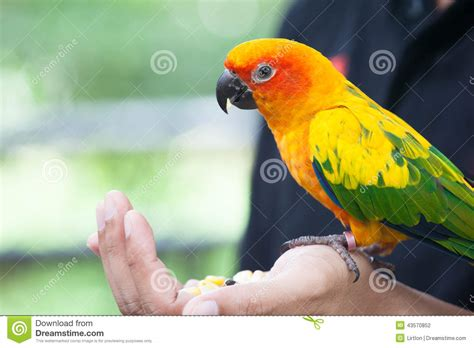 parrot bird eating corn seed stock photo image 43570852