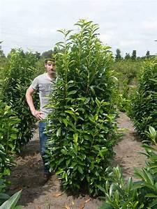 Baum Vorgarten Immergrün : prunus laurocerasus 39 genolia 39 kirschlorbeer 39 genolia ~ Michelbontemps.com Haus und Dekorationen