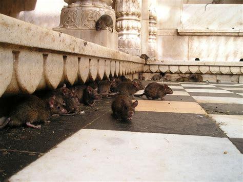 Wie Sie In Nur 10 Tagen Die Rattenplage Beenden