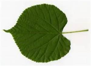 Linde Baum Steckbrief : winter linde details baumbestimmung laubh lzer bestimmen tilia cordata ~ Orissabook.com Haus und Dekorationen