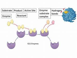 G11 Biology 2017-2018 Enzymes