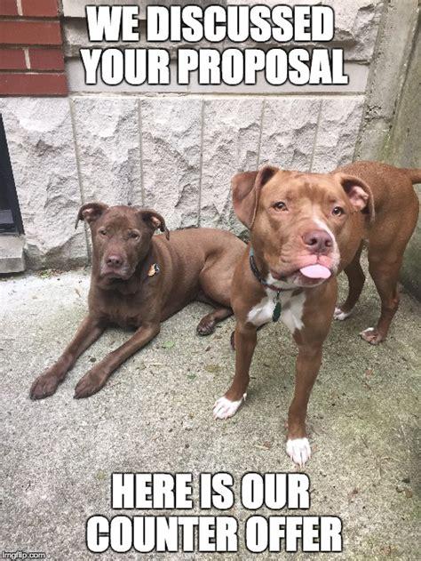 Pitbull Meme - 25 pit bull memes you ll find too cute sayingimages com