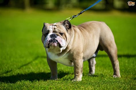 english bulldog dog breed information buying advice