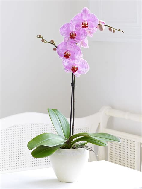orchids phalaenopsis tips care orchid orquideas moth plant plants grow caring flowers phal flower pink guide light keep via bouquet