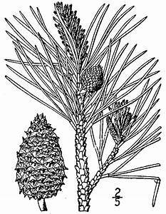 File Pinus Rigida Drawing Png