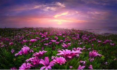 Field Flower Flowers Daisies Desktop Fields Wallpapers