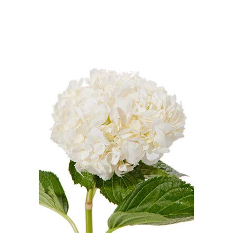 hydrangeas white flowers valentine s day white hydrangea valentine s day hydrangea valentine s day flowers flower muse