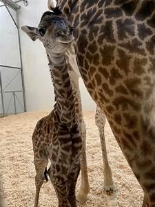 Meet the Cincinnati Zoo's Brand New Baby Giraffe  Giraffe