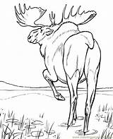 Moose Coloring Walking Printable Animals Coloringpages101 Mouse sketch template