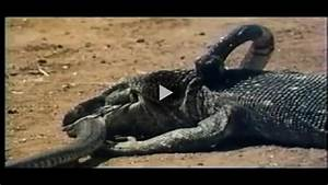 Komodo Dragon Vs Anaconda | www.imgkid.com - The Image Kid ...