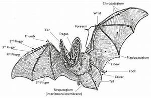 The General Anatomy Of A Bat
