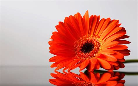 Black And Orange Flower Wallpaper by Black And White Flowers Wallpaper 1024x768 846