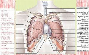 The Importance Of Knowing Lung Anatomy For Smokers