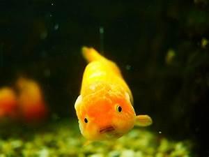 Ranchu Goldfish - Ranchu Goldfish - Ranchu Care And Info