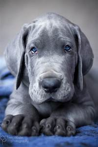 Merle Great Dane Puppies With Blue Eyes | www.imgkid.com ...