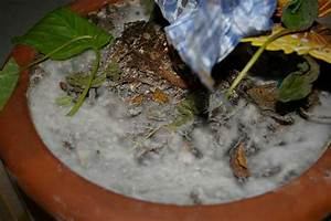 Schimmel In Pflanzen : schimmel bei feige seite 1 winterharte exotische pflanzen ~ Bigdaddyawards.com Haus und Dekorationen