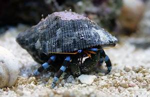 Calcinus elegans Electric Blue Hermit Crab