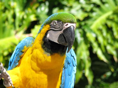 macaw lifespan blue throated macaw the life of animals