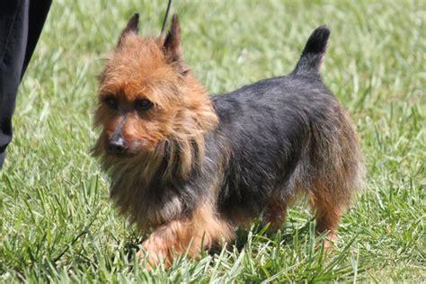 australian terrier breed information australian terrier