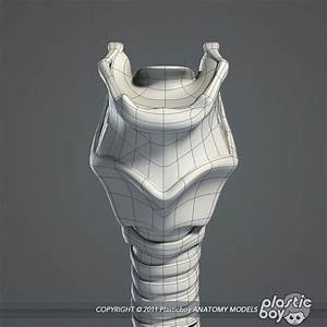 medically human larynx 3d model