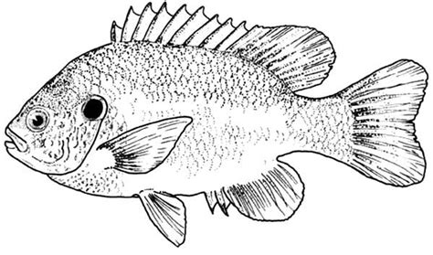 bass fish picture coloring pages  place  color