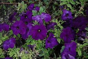 Duvet Blue Petunia (Petunia 'Duvet Blue') in Saskatoon ...