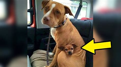 comes to adopt pit bull at shelter but she refused to
