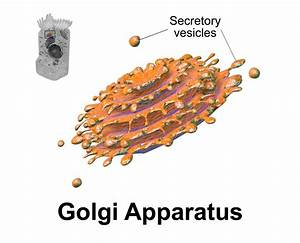 The Structure and Functions of Golgi Complex (629 Words)