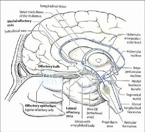 The Olfactory Nerve And Tract And The Olfactory Pathway