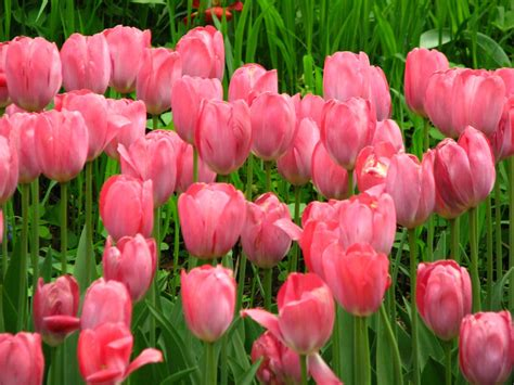 tulips images tulips hd wallpaper pink tulips hd wallpaper flowers wallpapers