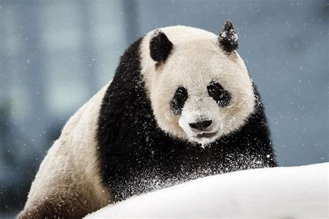 Chinese Giant Pandas Unveiled Public Finland Wjla