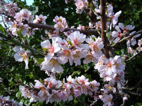 foto mandorlo in fiore foto di fiori fotografie di fiori della camapnia