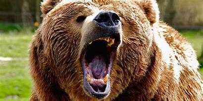 Grizzly Bear Canada Couple Attacks Biggest Roaring