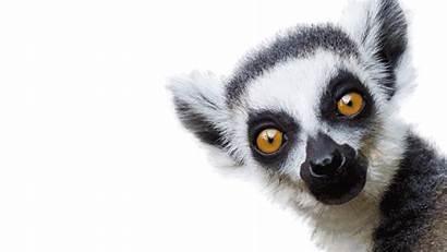 Lemur Lemurs Animated London Forest Giphy Gifs