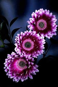 Purple Gerbera Daisies Flowers
