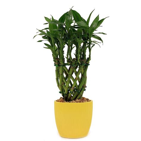 bamboo plants delray plants lucky bamboo drum braid in 4 in ribbed buttercup yellow bamdrbrbutterye the