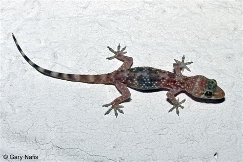 house gecko mediterranean gecko hemidactylus turcicus