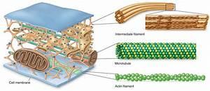 Cytoskeleton | Your Favorite Biological Building Block