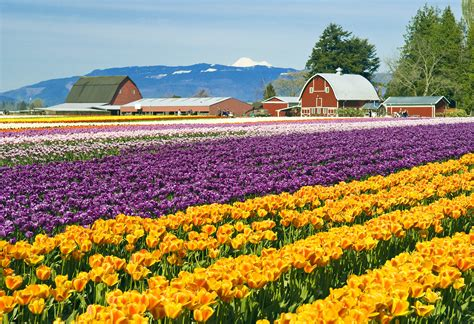 tulip skagit valley washington festival tulips fields town spring state wa mt vernon travel seniors field county usa blooms visiting