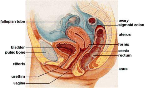 Gambar Rahim Wanita Normal Female Pelvic Anatomy